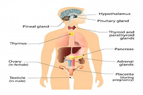 Tips to Strengthen the Endocrine System